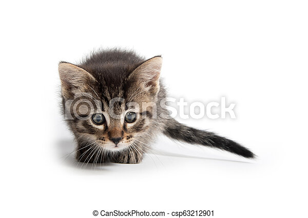 Cute tabby kitten on white - csp63212901