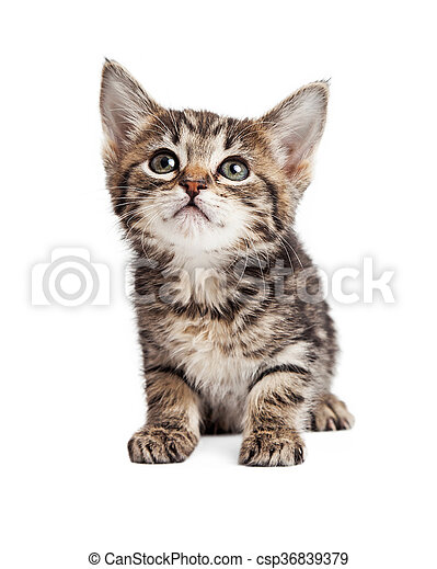 Cute Tabby Kitten Over White - csp36839379