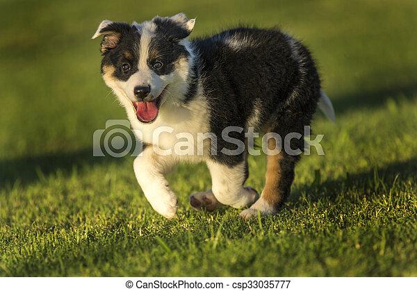 Cute Texas Heeler Puppy Running in the Park at Golden Hour - csp33035777