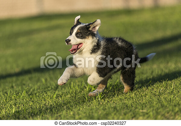 Cute Texas Heeler Puppy Running in the Park - csp32240327