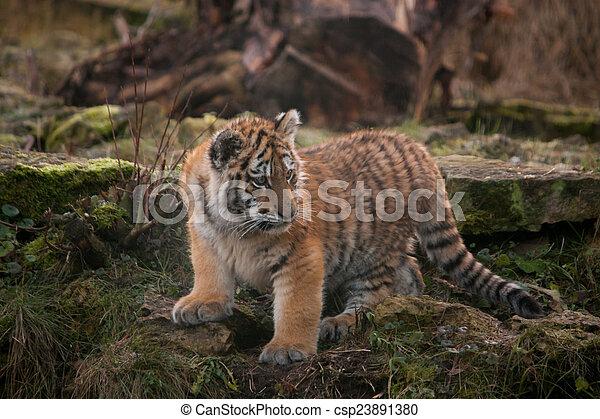 Cute tiger cub walking in the jungles cute small tiger cub walking cute tiger cub walking in the jungles csp23891380 altavistaventures Images