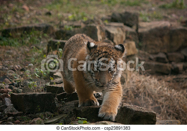 Cute tiger cub walking in the jungles cute small tiger cub walking cute tiger cub walking in the jungles csp23891383 thecheapjerseys Image collections