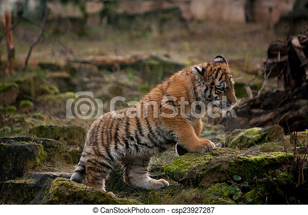 Cute tiger cub walking in the jungles cute small tiger cub walking cute tiger cub walking in the jungles csp23927287 thecheapjerseys Image collections
