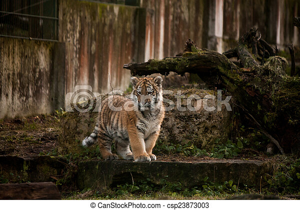 Cute tiger cub walking in the jungles cute small tiger cub walking cute tiger cub walking in the jungles csp23873003 thecheapjerseys Image collections