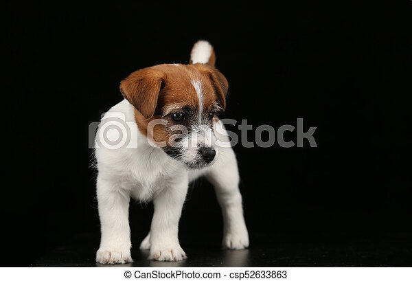 Cute Tiny Dog Black Background Popular Animals Jack Russell Puppies British Dog Breeds Human S Friend Small Dogs