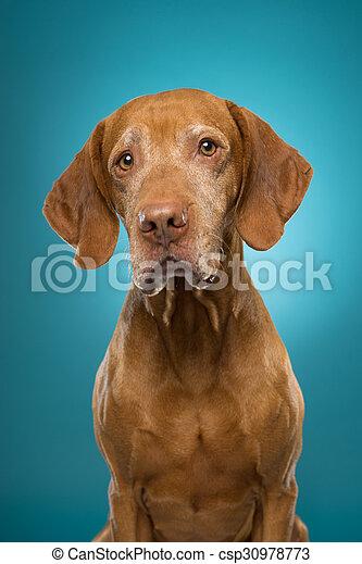 cute vizsla dog portrait - csp30978773