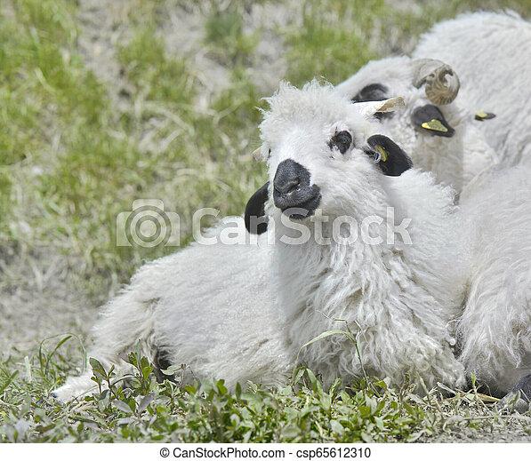 cute white and black lamb - csp65612310
