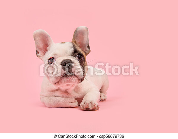 Cute White And Brown French Bulldog Puppy Lying Down Looking Away On A Pink Background
