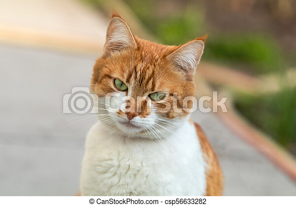 Cute white-and-red cat in a red collar in the grass. Cat is staring at something. - csp56633282