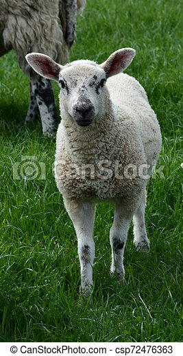 Cute White Lamb with Black Speckles on His Face in a Field - csp72476363