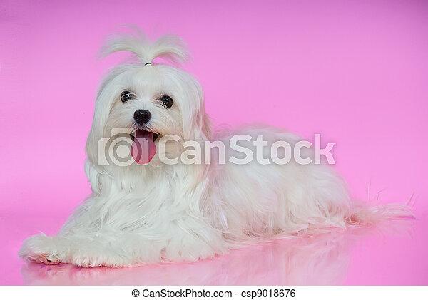 Cute white Maltese dog - csp9018676
