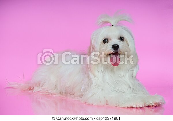 Cute white Maltese dog - csp42371901