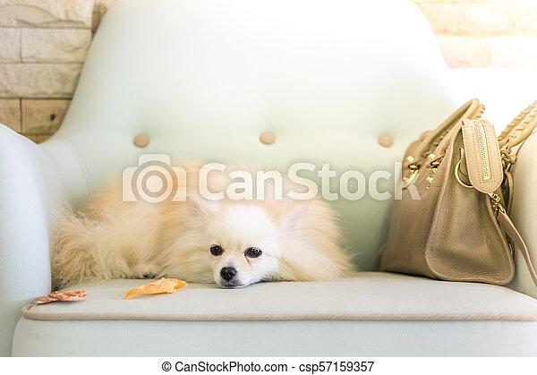 Cute White Pomeranian Dog Cute White Fluffy Pomeranian Dog On Coach