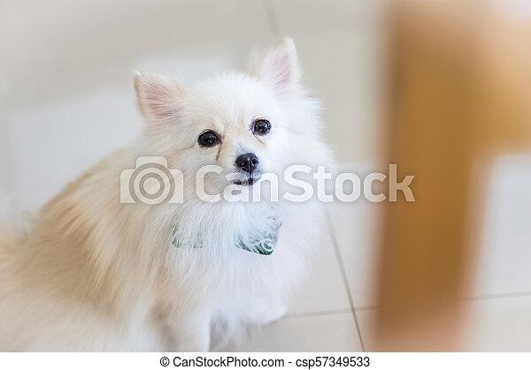 Cute White Pomeranian Dog Cute White Fluffy Pomeranian Dog