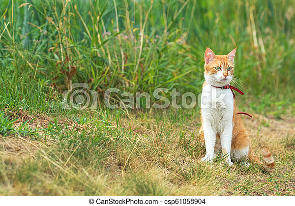 Cute white-red cat in a red collar watching for something - csp61058904