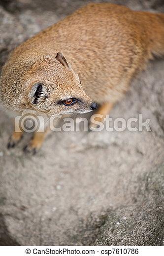 cute yellow mongoose  - csp7610786