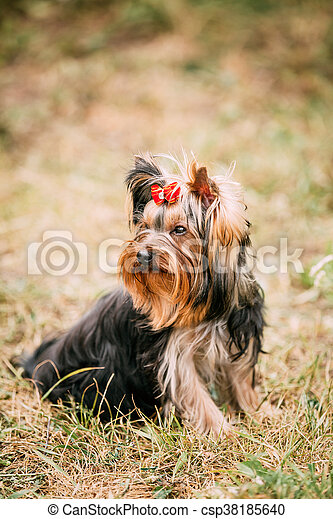 Cute Yorkshire Terrier Dog Outdoor Funny Cute Yorkshire Terrier