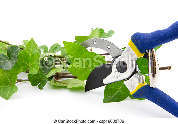 cutting secateurs with branches of ivy plant isolated - csp16608786