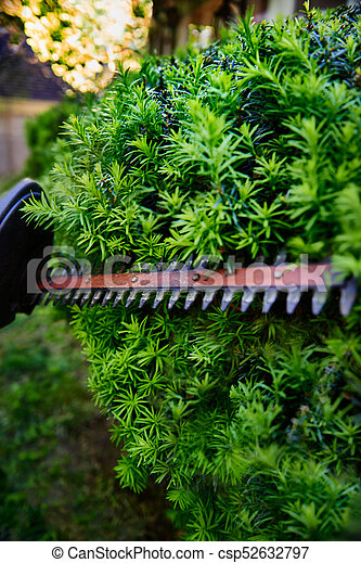 Cutting The Yew Bush Hedge With The Electric Hedge Trimmer