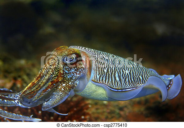 Cuttlefish - csp2775410