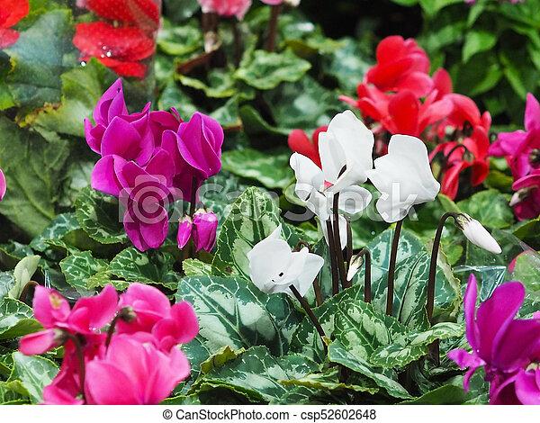 Cyclamen Flowers In Winter Season