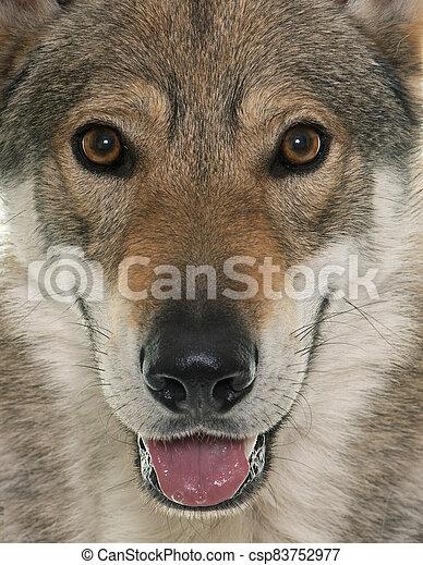 czechoslovakian wolf dog - csp83752977