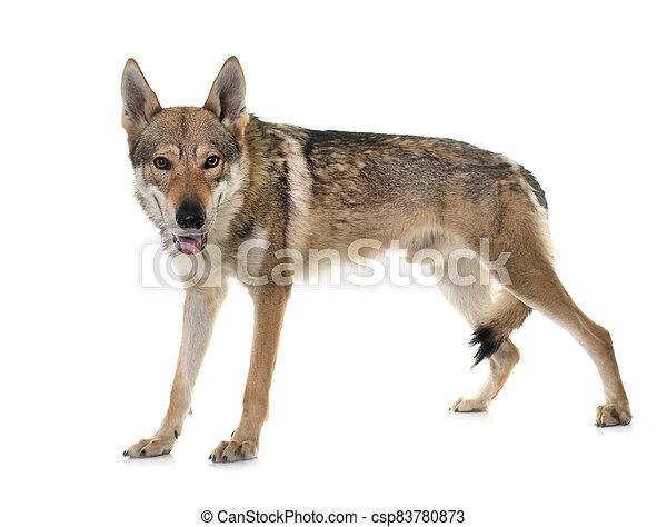 czechoslovakian wolf dog - csp83780873