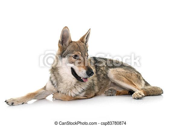 czechoslovakian wolf dog - csp83780874