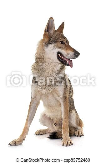 czechoslovakian wolf dog - csp83752480