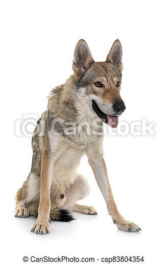 czechoslovakian wolf dog - csp83804354