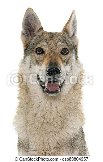 czechoslovakian wolf dog - csp83804357