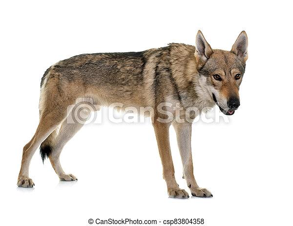 czechoslovakian wolf dog - csp83804358