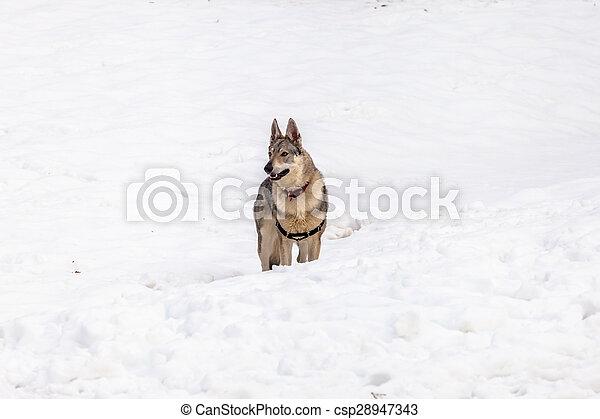 Czechoslovakian wolf dog - csp28947343