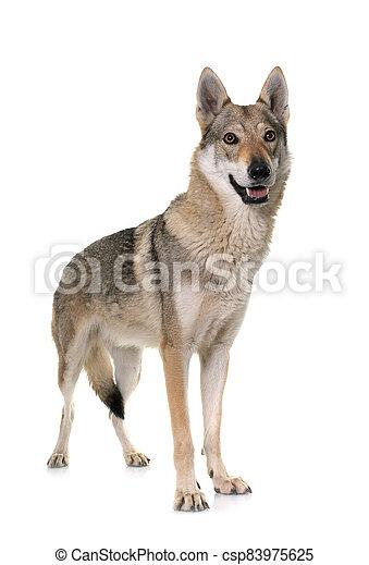 czechoslovakian wolf dog - csp83975625