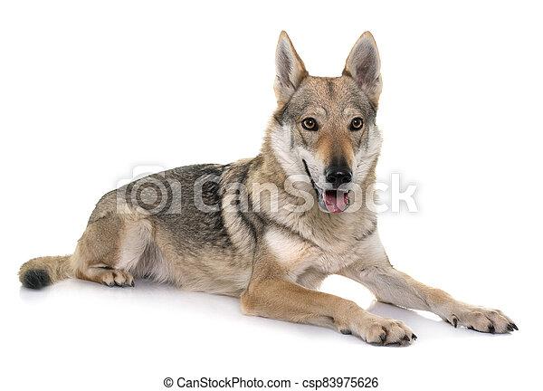 czechoslovakian wolf dog - csp83975626