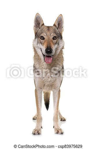 czechoslovakian wolf dog - csp83975629