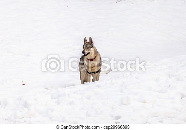 Czechoslovakian wolf dog - csp29966893