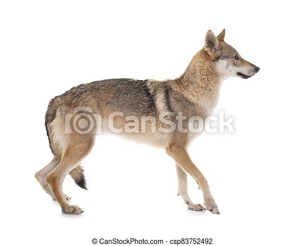 czechoslovakian wolf dog - csp83752492