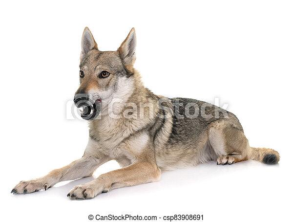 czechoslovakian wolf dog - csp83908691