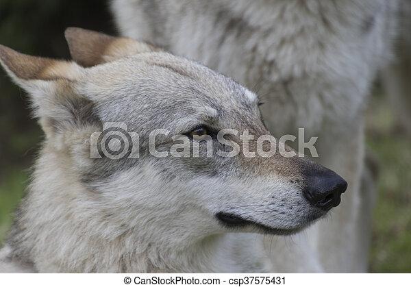 Czechoslovakian wolf dog - csp37575431