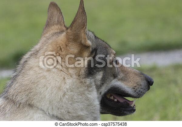 Czechoslovakian wolf dog - csp37575438