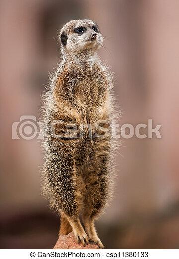 czujny, africa:, zwierzęta, meerkat - csp11380133