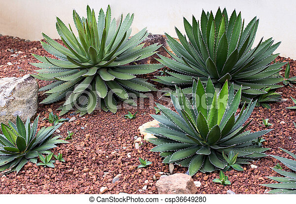 d coratif plante ext rieur jardin agave images rechercher photographies et clipart. Black Bedroom Furniture Sets. Home Design Ideas