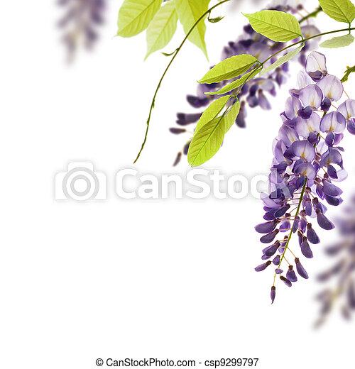 décoratif, wisteria, angle, feuilles, élément, fleurs, arrière-plan., blanc vert, frontière, sur, page - csp9299797