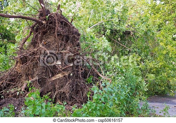 déraciné, endommagé, arbre, orage - csp50616157