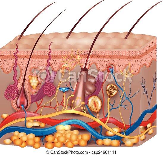 détaillé, beau, anatomy., illustration, monde médical, clair, colors., peau - csp24601111
