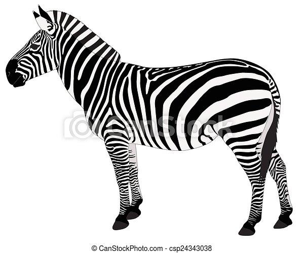 détaillé, zebra, illustration - csp24343038