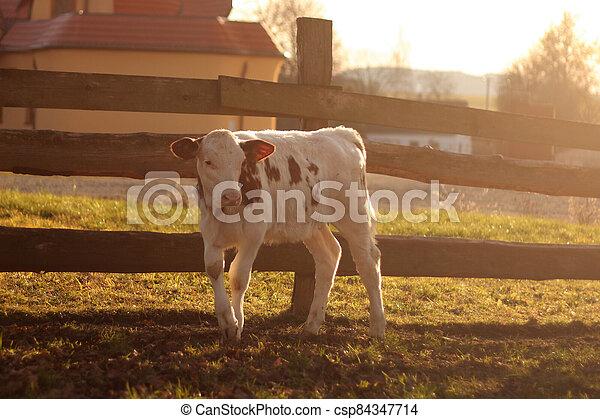 dřevěný, tele, ohradit, farma - csp84347714