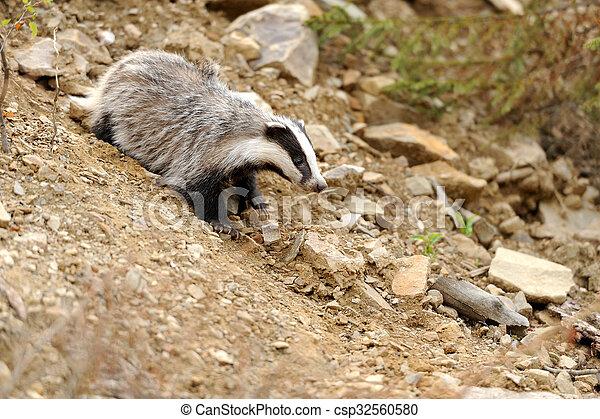 Badger nahe seiner Höhle im Wald - csp32560580