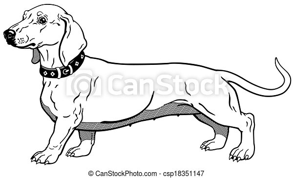 dachshund black white  - csp18351147